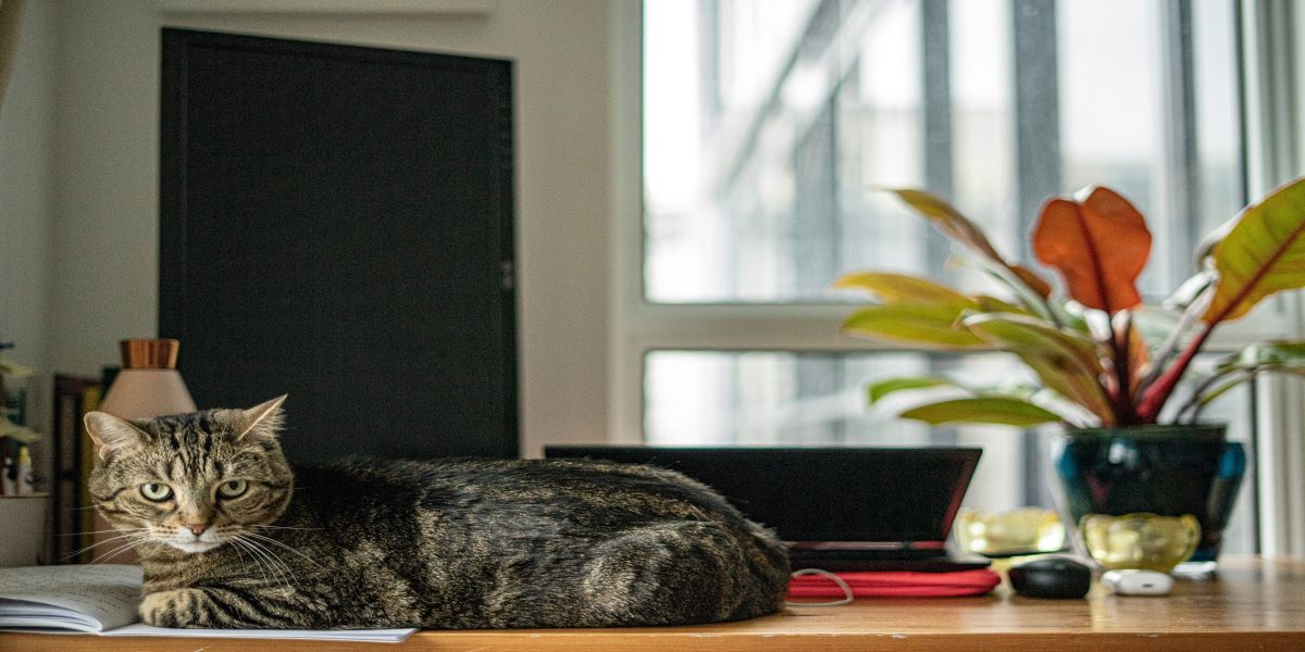 Silver tabby cat sitting on a notebook, in front of a screen on a home desk set up.